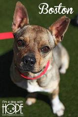 Boston Terrier Mix Dog For Adoption in Alton, IL, USA