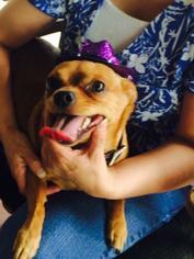 Miniature Pinscher Dog For Adoption in Phoenix, AZ