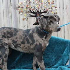 View Ad Catahoula Leopard Dog Labrador