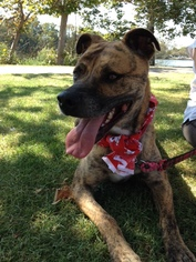 Bullboxer Pit Dog For Adoption in Midway City, CA