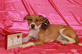 Bogle Dog For Adoption in Blacklick, OH, USA
