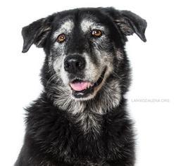 Labrador Retriever Mix Dog For Adoption in Pearland, TX, USA