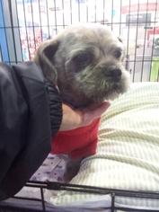 Shiffon Dog For Adoption in Porter Ranch, CA, USA