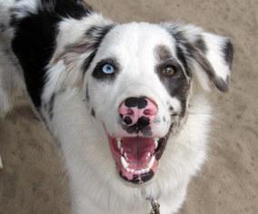 Australian Shepherd Dog For Adoption in Holly Springs, NC