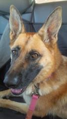 German Shepherd Dog Mix Dog For Adoption in Durham Region, ON, USA