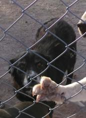 Collie Dog For Adoption in Tonopah, AZ, USA