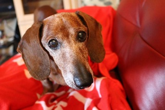 Dachshund Dog For Adoption in Weston, FL
