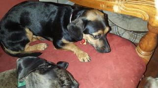 Chiweenie Dog For Adoption in Bandera, TX, USA