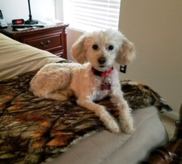 Poodle (Toy) Dog For Adoption in Lenoir, NC, USA