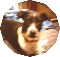 Australian Cattle Dog-Bullmastiff Mix Dog For Adoption in Tonopah, AZ, USA