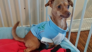 Chihuahua Mix Dog For Adoption in Midway City, CA, USA