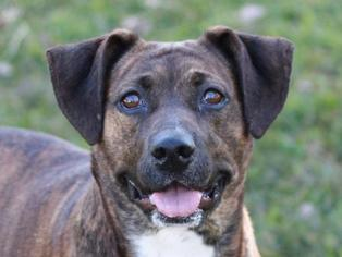 Mountain Cur Dog For Adoption in Sparta, TN, USA