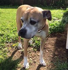Boxer Dog For Adoption in Bellbrook, OH, USA