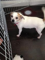 Jack Chi Dog For Adoption in Rancho Santa Margarita, CA, USA