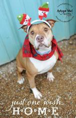 American Pit Bull Terrier Dog For Adoption in Richmond, MO