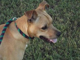 Boxer Mix Dog For Adoption in Frisco, TX