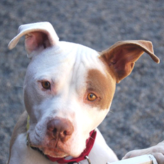 American Pit Bull Terrier Mix Dog For Adoption in Petaluma, CA, USA