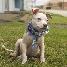 Bullboxer Pit Dog For Adoption in Houston, TX, USA