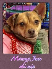 Chihuahua-Unknown Mix Dogs for adoption in Franklinton, LA, USA