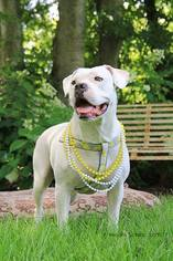 American Bulldog Mix Dog For Adoption in Nashville, TN, USA