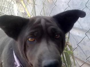 Chinese Shar-Pei Mix Dog For Adoption in Tonopah, AZ