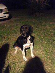 Labrador Retriever Mix Dog For Adoption in Nashville, TN, USA