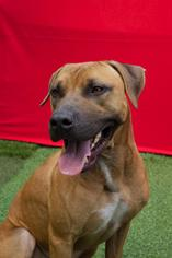 Labrador Retriever-Rhodesian Ridgeback Mix Dog For Adoption in Miami, FL