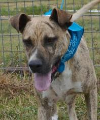 Mutt Dog For Adoption in Liverpool, TX, USA