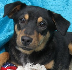 Puppyfinder com: Cojack dogs for adoption near me in New