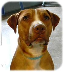 American Pit Bull Terrier-American Staffordshire Terrier Mix Dog For Adoption in Shell Lake, WI, USA
