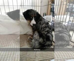 Miniature Bernedoodle Dogs for adoption in Chambersburg, PA, USA