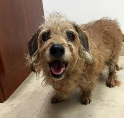Dachshund Dog For Adoption in Weston, FL, USA