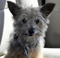 Silky Terrier Dog For Adoption in Abrams, WI