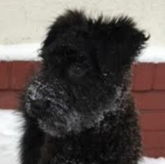Bouvier Des Flandres Dogs for adoption in St. Louis Park, MN, USA