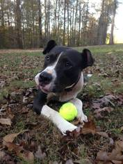 American Pit Bull Terrier Mix Dog For Adoption in Helena, AL, USA