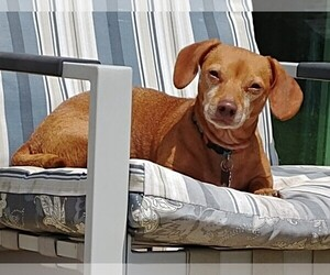 View Ad: Chiweenie Dog for Adoption near Tennessee ...