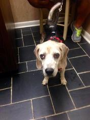 Beagle Dog For Adoption in Jacksonville, FL, USA