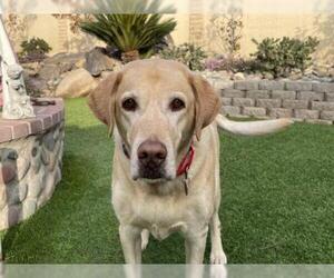 Labrador Retriever Dogs for adoption in Clovis, CA, USA