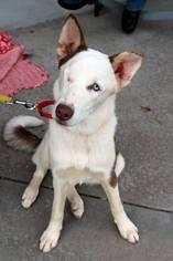 Siberian Husky Dog For Adoption in Raleigh, NC, USA