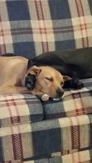 Dachshund Mix Dog For Adoption in Nashville, TN