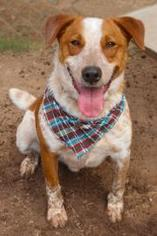 Mutt Dog For Adoption in Austin, TX, USA