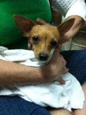 Chihuahua Dog For Adoption in Fort Lauderdale, FL, USA