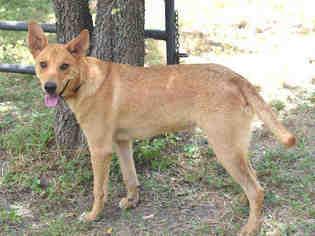 View Ad Carolina Dog German Shepherd Dog Mix Dog For Adoption Near