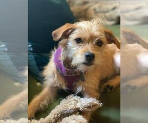 Border Terrier Dogs for adoption in Pasadena, CA, USA
