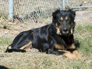 Australian Shepherd Dog For Adoption in Hankamer, TX, USA