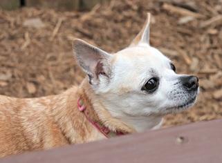 View Ad: Chihuahua Dog for Adoption near Georgia, Kennesaw ...