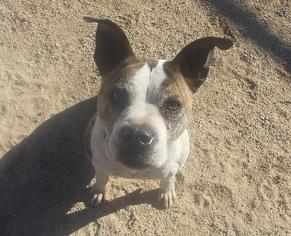 Boxer Mix Dog For Adoption in Encino, CA, USA
