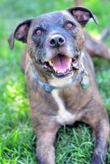 Boxer-German Wirehaired Pointer Mix Dog For Adoption in Salt Lake City, UT, USA