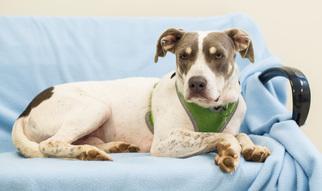 Beagle-Weimaraner Mix Dog For Adoption in Alpharetta, GA, USA