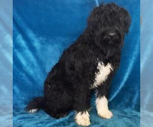 Bouvier Des Flandres Dogs for adoption in Show Low, AZ, USA